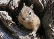 400px-Ground_Squirrel