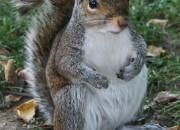 Common_Squirrel-2